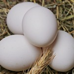 Grass-Fed White Eggs at Hilltop Acres Poultry