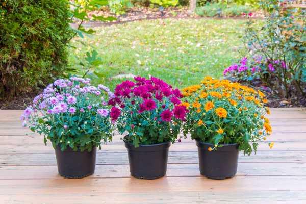 Mum Plants at Hilltop Acres